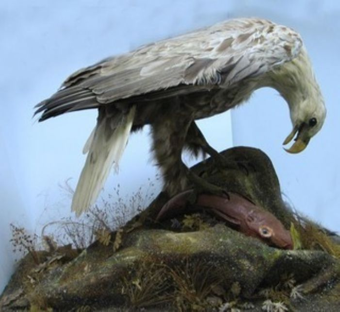 A white tailed sea eagle, perhaps the one donated by John Millett (courtesy of Penlee House and Gallery)
