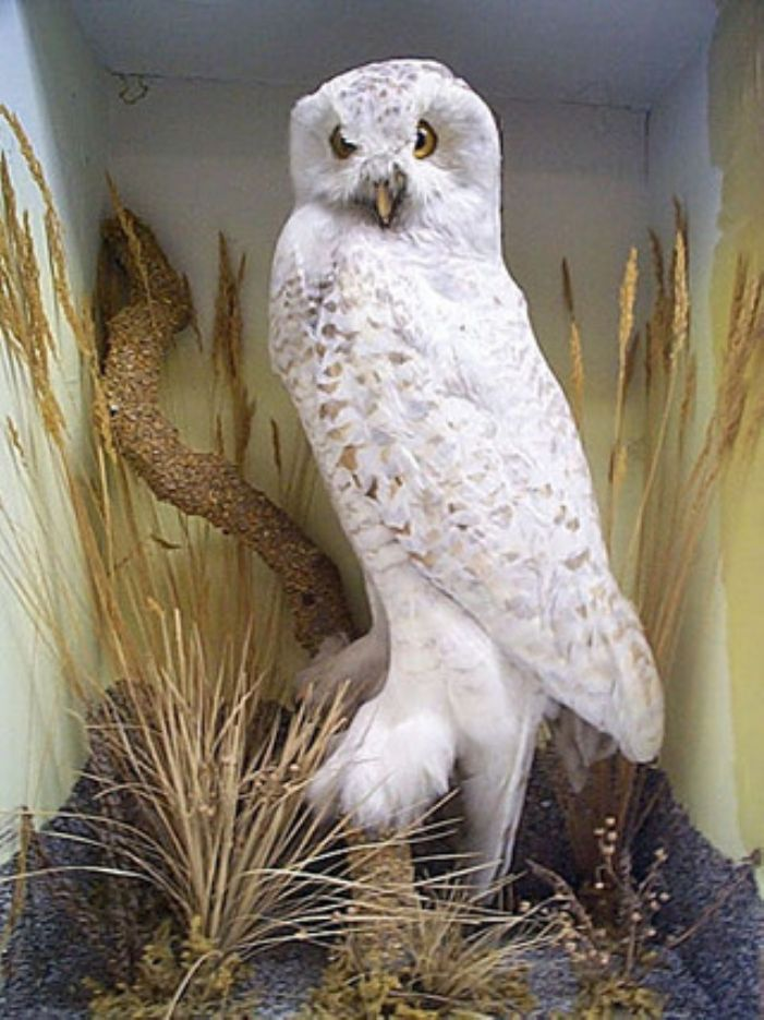 Is this the magnificent snowy owl donated by John Batten in 1839 (courtesy of Penlee House and Gallery)