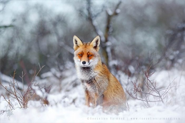 Watchful fox (courtesy of Roeselien Raimond)