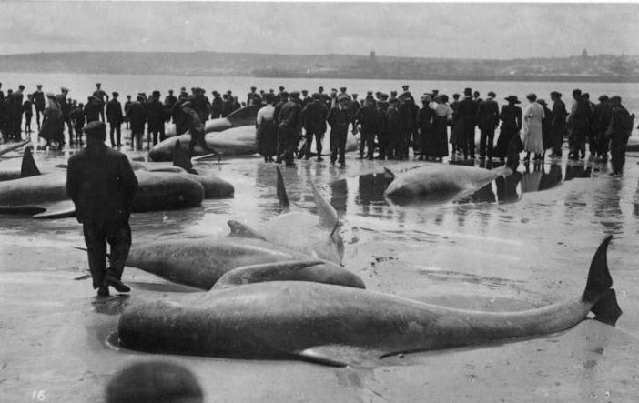 Beached whales at Longrock, Penzance, in July 1911, quite a crowd (photo: Morrab Library Photo Archive)